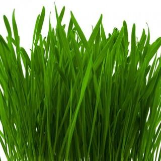 pirul - planta medicinala